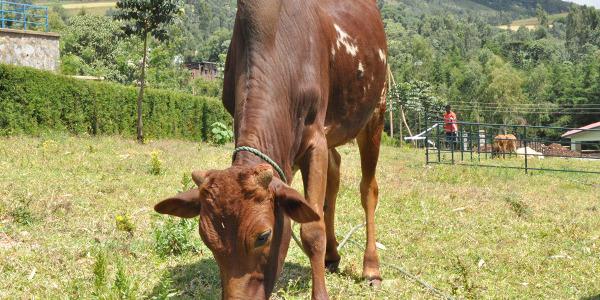 dona una mucca (2)