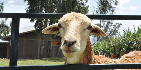 dona una pecorella (1)